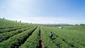 Женщины havest чай на ферме чая Стоковое фото RF