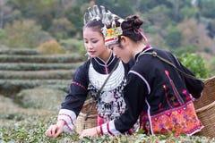 Женщины Hmong на их традиционных платьях собирают листья чая стоковая фотография rf