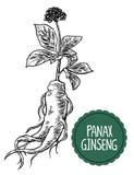 Женьшень panax корня и листьев Vector иллюстрация черно-белой гравировки винтажная лекарственных растений biofeedback бесплатная иллюстрация