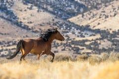Жеребец дикой лошади бежать в Юте Стоковые Фото