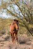 Жеребец дикой лошади в пустыне Аризоны Стоковое Фото