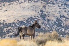 Жеребец дикой лошади в пустыне Юты Стоковые Фотографии RF