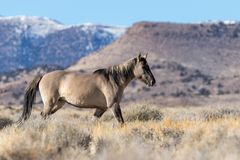 Жеребец дикой лошади в пустыне Юты Стоковое Изображение RF