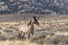 Жеребец дикой лошади в пустыне Стоковое Фото