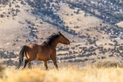 Жеребец дикой лошади в Юте Стоковые Фотографии RF