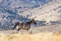 Жеребец дикой лошади в Юте Стоковое фото RF