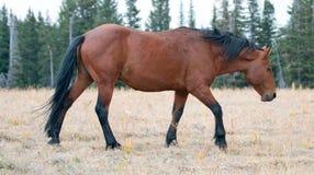 Жеребец дикой лошади залива на гребне Sykes в ряде дикой лошади гор Pryor в Монтане США Стоковое Фото