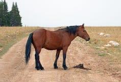 Жеребец дикой лошади залива на дороге гребня Sykes в ряде дикой лошади гор Pryor в Монтане США Стоковая Фотография