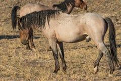 Жеребец дикой лошади пустыня Стоковые Фотографии RF