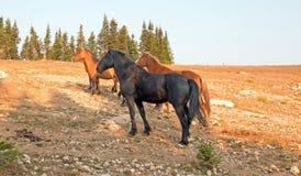 Жеребец дикой лошади черный с его малым табуном в ряде дикой лошади гор Pryor в Монтане США Стоковая Фотография