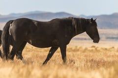 Жеребец дикой лошади Стоковая Фотография RF
