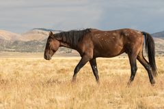 Жеребец дикой лошади Стоковые Фото