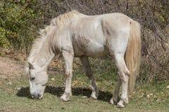 Жеребец дикой лошади Стоковые Изображения RF