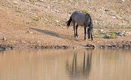 Жеребец дикой лошади Grulla серебряного серого цвета отражая на waterhole в ряде дикой лошади гор Pryor в Монтане США Стоковое фото RF