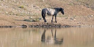 Жеребец дикой лошади Grulla серебряного серого цвета отражая на waterhole в ряде дикой лошади гор Pryor в Монтане США Стоковые Изображения