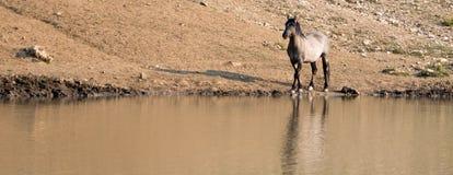 Жеребец дикой лошади Grulla серебряного серого цвета отражая на waterhole в ряде дикой лошади гор Pryor в Монтане США Стоковые Фото