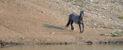 Жеребец дикой лошади Grulla серебряного серого цвета отражая на waterhole в ряде дикой лошади гор Pryor в Монтане США Стоковое Фото