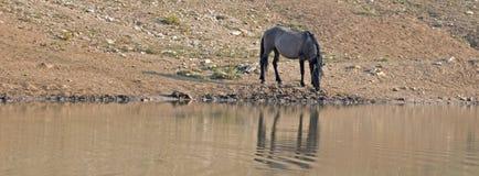 Жеребец дикой лошади Grulla серебряного серого цвета отражая на waterhole в ряде дикой лошади гор Pryor в Монтане США Стоковая Фотография