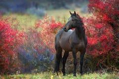 Жеребец залива в деревьях ягоды осени стоковые фото