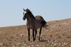 Жеребец диапазона бдительной дикой лошади голубой Roan стоя на Sykes Ридже над шаром чашка в горах Pryor в †«Вайоминге Монтаны Стоковые Изображения