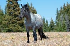 Жеребец диапазона дикой лошади голубой Roan в ряде дикой лошади гор Pryor в Монтане Стоковая Фотография