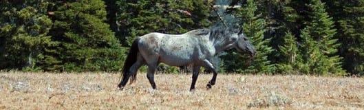 Жеребец диапазона дикой лошади Roan в ряде дикой лошади гор Pryor в †«Вайоминге Монтаны Стоковая Фотография