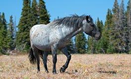 Жеребец диапазона Windblown дикой лошади голубой Roan в ряде дикой лошади гор Pryor в Монтане Стоковое Изображение