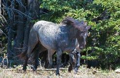 Жеребец диапазона Windblown дикой лошади голубой Roan в ряде дикой лошади гор Pryor в Монтане Стоковое фото RF