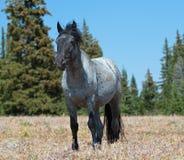 Жеребец дикой лошади голубой Roan в горах Pryor Стоковая Фотография