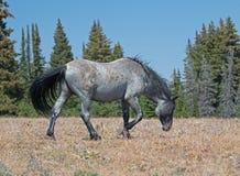 Жеребец дикой лошади голубой Roan в горах Pryor Стоковые Фото
