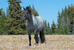 Жеребец дикой лошади голубой Roan в горах Pryor Стоковые Фотографии RF