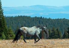 Жеребец дикой лошади голубой Roan в горах Pryor Стоковая Фотография RF