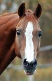 жеребец красного цвета портрета Стоковая Фотография RF