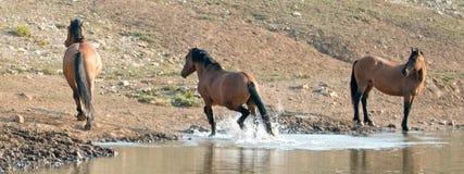 Жеребец лосиной кожи серовато-коричневого цвета бежать далеко от waterhole в ряде дикой лошади гор Pryor в Монтане u Стоковые Фото