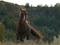 Жеребец стержня залива мустанга дикой лошади в национальном парке Теодора Рузвельта Стоковое фото RF