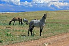 Жеребец стержня Grulla мустанга дикой лошади серый Roan в горах Pryor в Вайоминге/Монтане Стоковое Изображение RF