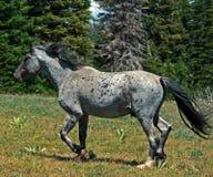 Жеребец стержня Grulla мустанга дикой лошади серый Roan в MT Pryor Mtns Стоковые Фотографии RF