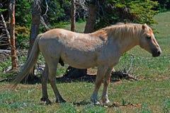 Жеребец стержня Palomino мустанга дикой лошади (это жеребец скалистых гор - телевизионная программа облака одичалый PBS) стоковые изображения rf
