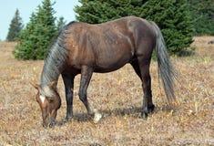Жеребец Palomino дикой лошади сажный покрашенный пася в ряде дикой лошади горы Pryor в Монтане Стоковые Изображения RF