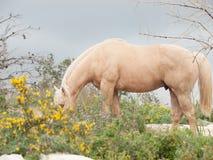 Жеребец palomino Grazling Полу-одичалая лошадь свобода, Израиль стоковое фото rf