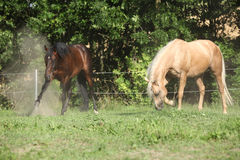 2 жеребца двигая дальше pasturage Стоковая Фотография
