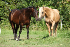 2 жеребца стоя на pasturage Стоковые Фото