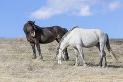 2 жеребца холостяка на равнинах Стоковое Изображение RF