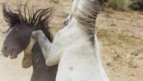 Жеребцы, дикие мустанги пробуют преобладать бассейны, соединенный бой соперников которые затуют слишком близкую в пустыне Невады, стоковое изображение rf