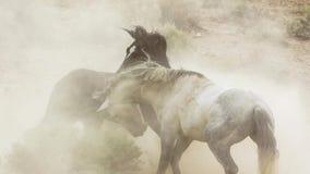 Жеребцы, дикие мустанги пробуют преобладать бассейны, соединенный бой соперников которые затуют слишком близкую в пустыне Невады, стоковые изображения rf
