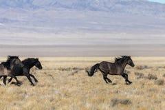 Жеребцы дикой лошади бежать в пустыне Стоковая Фотография RF