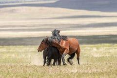 Жеребцы дикой лошади воюя в лете Стоковая Фотография RF