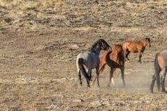 Жеребцы дикой лошади воюя в пустыне Юты Стоковая Фотография RF