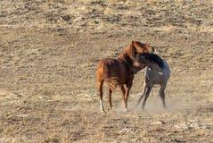 Жеребцы дикой лошади воюя в пустыне Стоковая Фотография RF