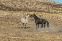 Жеребцы дикой лошади воюя в пустыне Стоковые Изображения